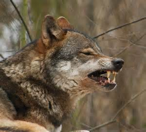 wolf teeth picture 15
