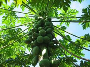 papaya plants picture 1