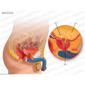 Prostate gland function picture 2