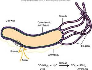 cause of bacterial infection in the stomach picture 9