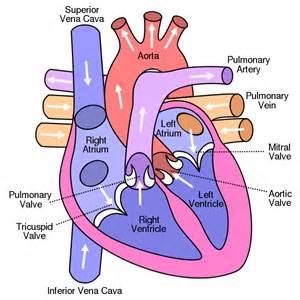diagram blood flow through heart picture 6