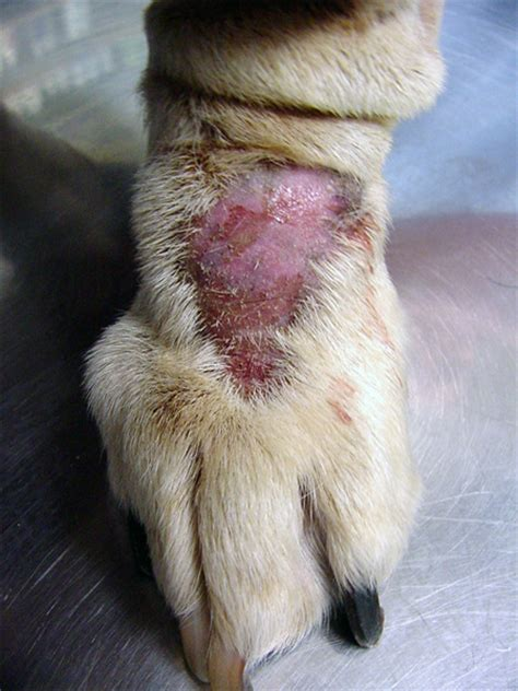 canine skin conditions picture 9