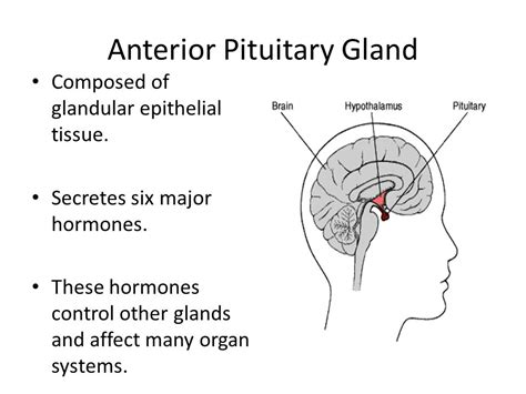anterior pituitary gland picture 18