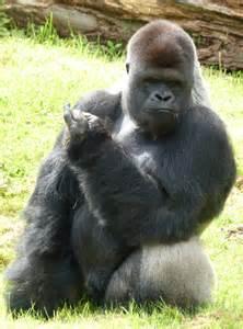 gorillas penis picture 7
