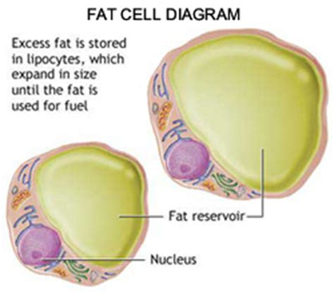 the fat burning process picture 3