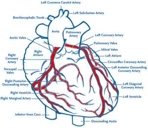heart arteries diagram picture 2