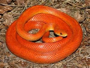 corn snake h picture 3