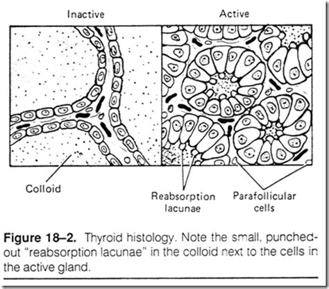 inactive thyroid glands picture 5