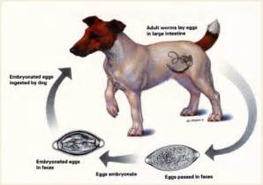 treatment for dachshund skin problem picture 11