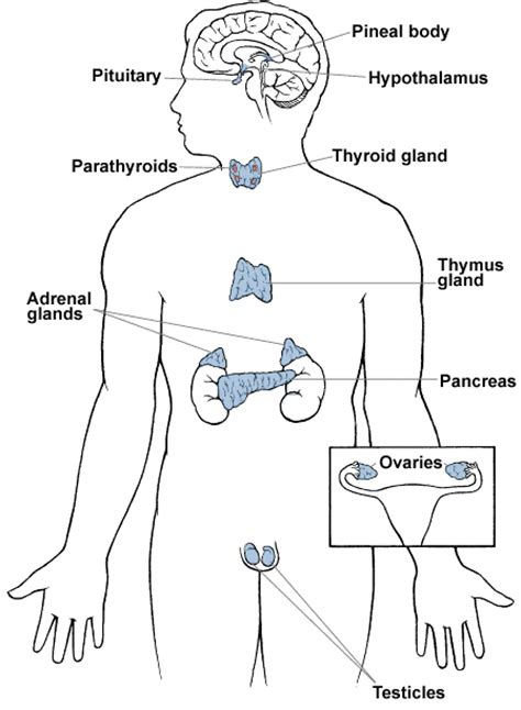 how to use allergy research group thyroid glandular picture 18