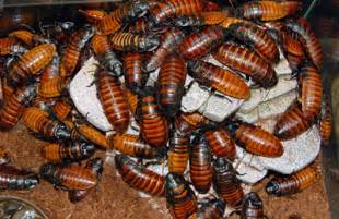 madagascar hissing cockroach diet in captivity picture 9