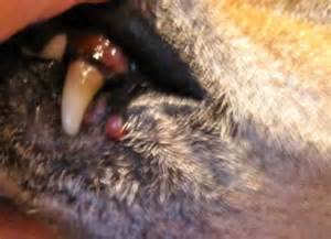 canine lip sores picture 11