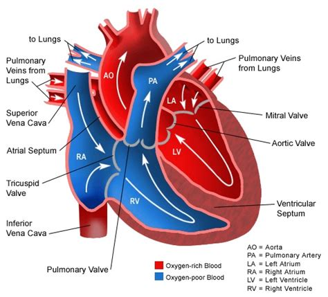 animation of blood flow though heart picture 15