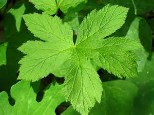 goldenseal picture 6