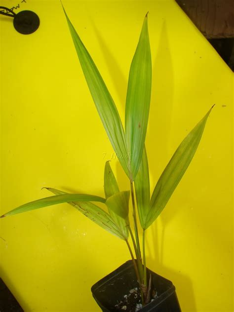 acai palms for sale picture 2
