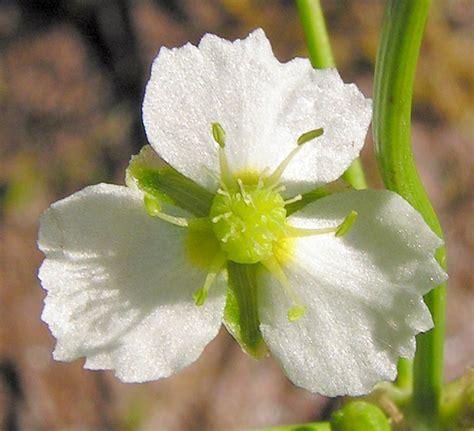 common plantain picture 7