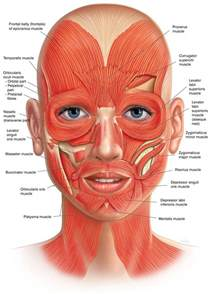 face muscle picture 1