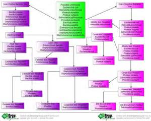 flow chart for bacterial identification picture 11
