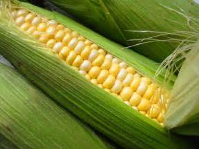 human digestion of sweet corn picture 3