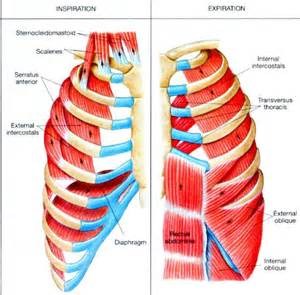 external muscle picture 5