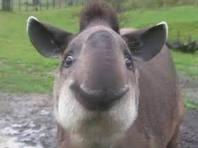 tapir penis picture 9