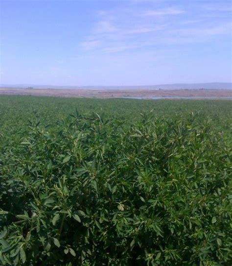 columbia basin alfalfa picture 1