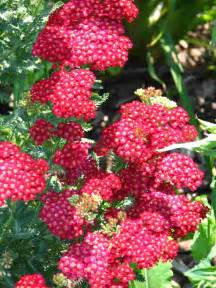 yarrow flower picture 5