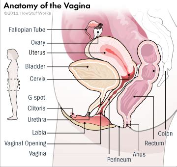 diagram of the penis in the vagina picture 9