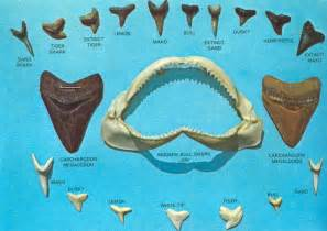 shark teeth picture 17