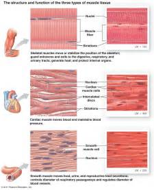 are smooth muscle multinucleated picture 19