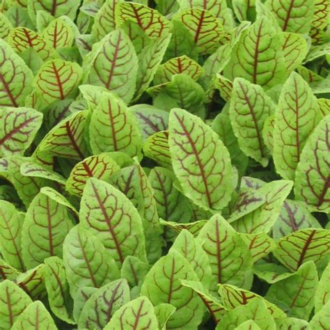 purchase red sorrel picture 6