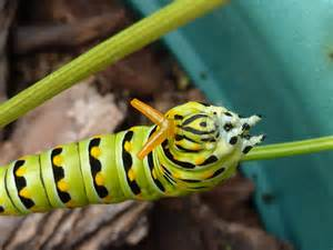 small catepillars on fennel picture 13