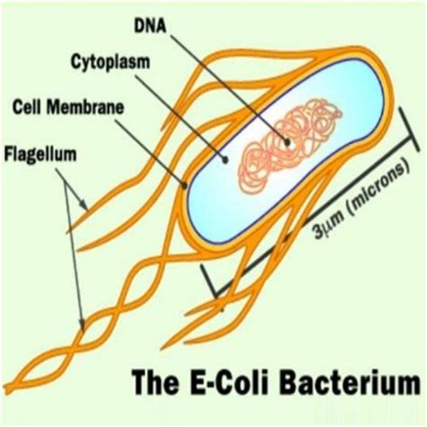 natural source against ecoli bladder infection picture 1