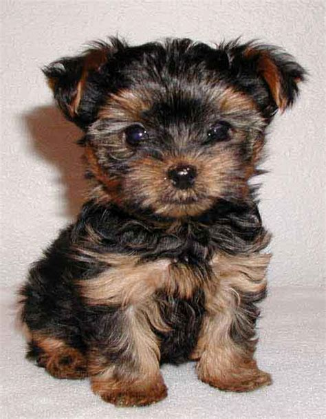 common health problems in bichon dogs picture 7