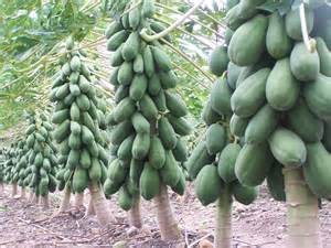 how to prune papaya plants picture 10