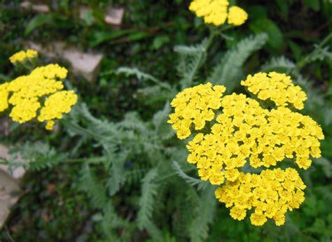 yarrow picture 9