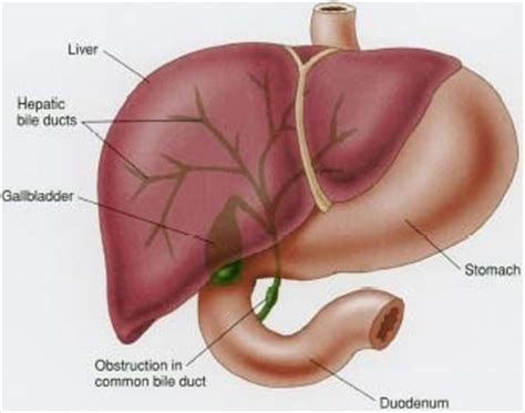 where does digestion occur in the liver picture 4