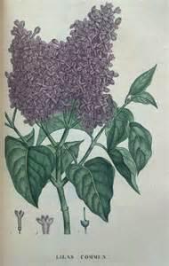 lilacs skin irritation picture 11