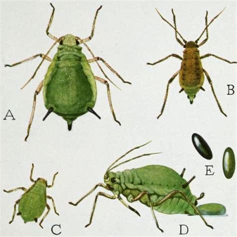 cicada diet picture 7