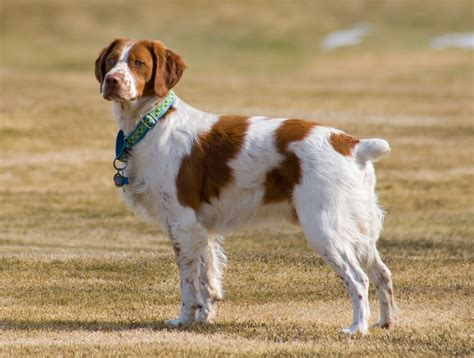 hypothyroidism and dogs picture 5