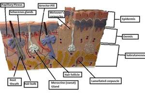 integumentary system skin model picture 6