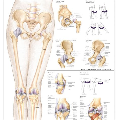 anatomy of the hip joint picture 17