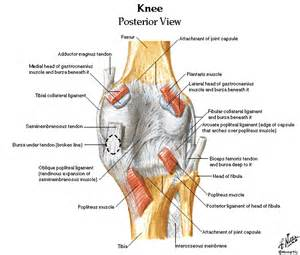 diagram of knee joint picture 14