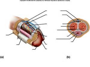 pictures of penile muscle movement when ejaculating picture 1
