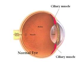 ciliary muscle picture 1