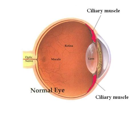 ciliary eye muscle picture 2