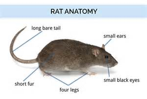 compare and contrast rat and mouse gastrointestinal system picture 10