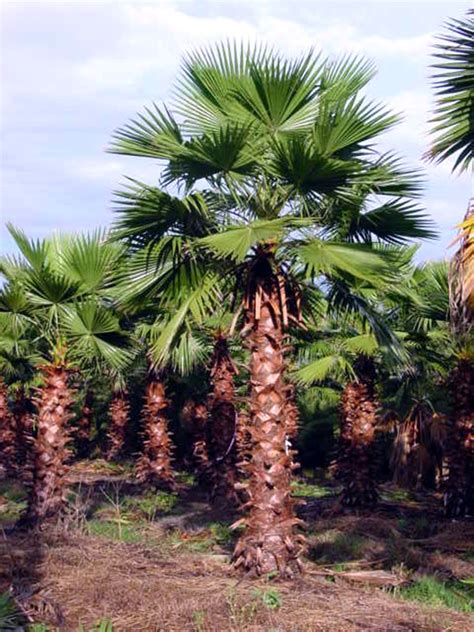 acai palms for sale picture 2