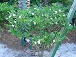 crepe jasmine conolidine pain killer picture 17