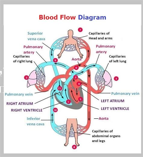circulation of blood flowchart picture 14